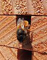 Female red mason bee (Osmia bicornis) (8928109076).jpg