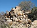 Ferocacuctus cylindraceus, Wonderland of Rocks 8850 RobbHannawacker.jpg