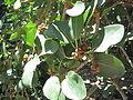 Ficus Benghalensis2.JPG