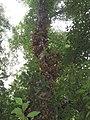 Ficus racemosa fruits at Peravoor (3).jpg