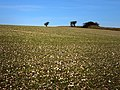 Field west of South Downs Way - geograph.org.uk - 687678.jpg
