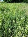 Filago vulgaris sl277.jpg