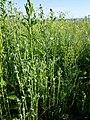 Filago vulgaris sl286.jpg