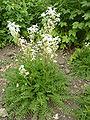 Filipendula vulgaris 'Dropwort' (Rosaceae) plant.JPG