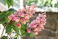 Fleischrote Rosskastanie (Aesculus × carnea) - Flickr - blumenbiene (1).jpg