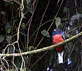Flickr - Dario Sanches - SURUCUA-VARIADO macho ( Trogon surrucura ).jpg
