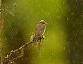 Flickr - Rainbirder - Muscicapa striata.jpg
