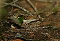 Flickr - Rainbirder - Sokoke Pipit (Anthus sokokensis) with a snail (1).jpg