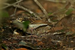 Flickr - Rainbirder - Sokoke Pipit (Anthus sokokensis) with a snail (1).jpg