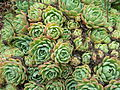 Flickr - brewbooks - Echeveria Crassulaceae (5).jpg