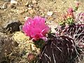 Flickr - brewbooks - Flowering Cactus.jpg