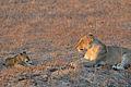 Flickr - ggallice - Lioness, cub.jpg