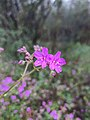 Flor maravillita (Mirabilis viscosa).jpg