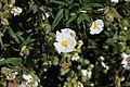 Flora della Sardegna 259 (03).jpg