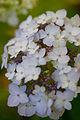 "Flower, Hydrangea ""Maiko"" - Flickr - nekonomania (4).jpg"