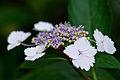 "Flower, Hydrangea ""Temari-Gaku-Ajisai"" - Flickr - nekonomania.jpg"