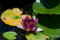 Flower, Water lilies - Flickr - nekonomania.jpg