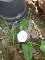 Flower of water spinach.jpg