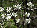 Flowering Dogwood - Flickr - treegrow (1).jpg