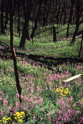 Yellowstone fires of 1988 - The year after the fires, and for a number of years afterwards, wildflowers were abundant in burned areas.