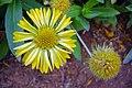 Flowers of Iran by qom city 03.jpg