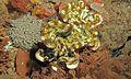 Fluted Giant Clam (Tridacna squamosa) (6072982757).jpg