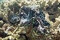 Fluted giant clam Tridacna squamosa (5849453214).jpg