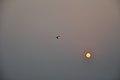 Flying Egret & Equinox Sun - Kolkata 2012-03-20 9328.JPG