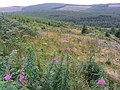 Forestry at Mid Cleuch - geograph.org.uk - 556554.jpg