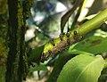 Formica rufa попелиці.jpg