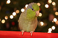 Forpus coelestis -pet on perch -female-8c.jpg