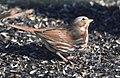 Fox Sparrow (24585226936).jpg
