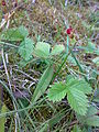 Fragaria vesca Norway.jpg