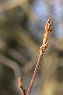 220px-Frangula-alnus-buds-2010-02-11 The Buckthorns – Breaking Buckthorn (Rhamnus frangula) – Purging Buckthorn (Rhamnus catharticus)