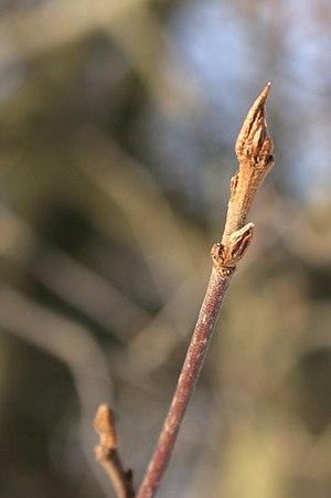 Frangula alnus - Winter shoot with buds