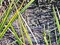 Frog in mud bank (7909212448).jpg