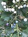 Fruits of Ampelopsis glandulosa 20190823.jpg