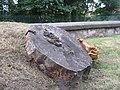 Fungus on beech stump - 5 years on (geograph 3572234).jpg