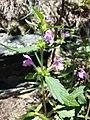 Galeopsis ladanum s. str. sl11.jpg