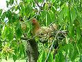 Gallina sull'albero.JPG