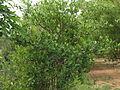 Gardenia gummifera 014.JPG