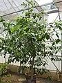 Gardenology.org-IMG 8172 qsbg11mar.jpg