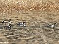 Garganey (Anas querquedula) & Eurasian Wigeon (Anas penelope) (33879969804).jpg