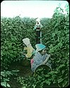 Gathering Mulberry Leaves (19762314080).jpg