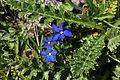 Gentiana bavarica, Areches - img 44689.jpg