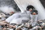 Gentoo Penguin Baby (24940373075).jpg