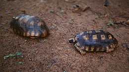Geochelone denticulata - couple Suriname.jpg