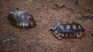 <i>Chelonoidis</i> Genus of tortoises