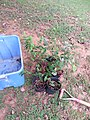 Georgia Native Plant Society planting butterfly garden in Heritage Park, Mableton, Cobb County, Sept 2015 11.jpg