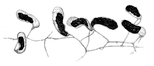 Geosiphon pyriformis by Wettstein.png